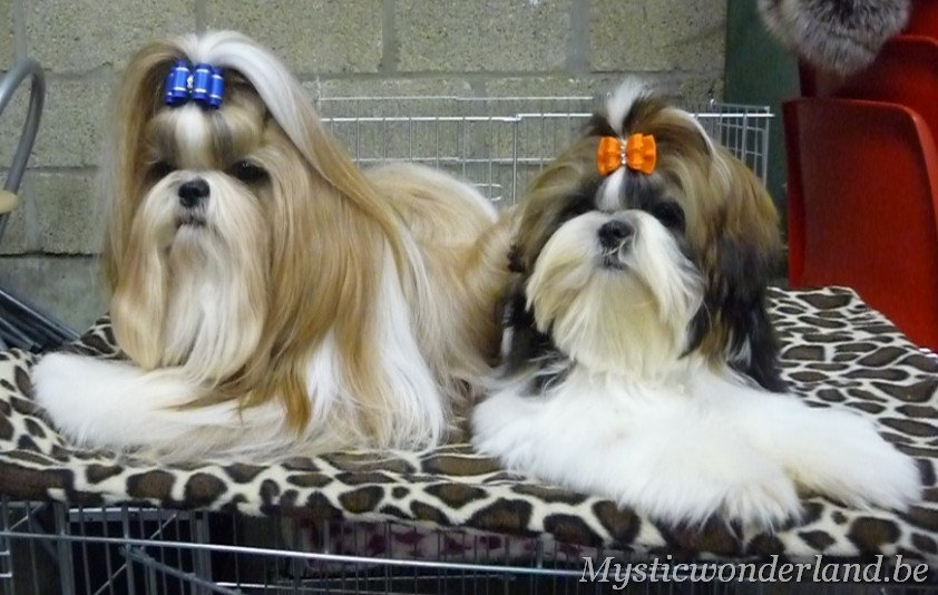 shih tzu mystique diva shih tzu kennel of mystic wonderland 5260