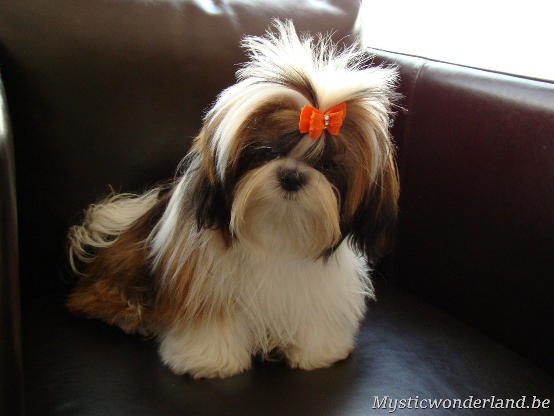 shih tzu mystique gigi shih tzu kennel of mystic wonderland 3364