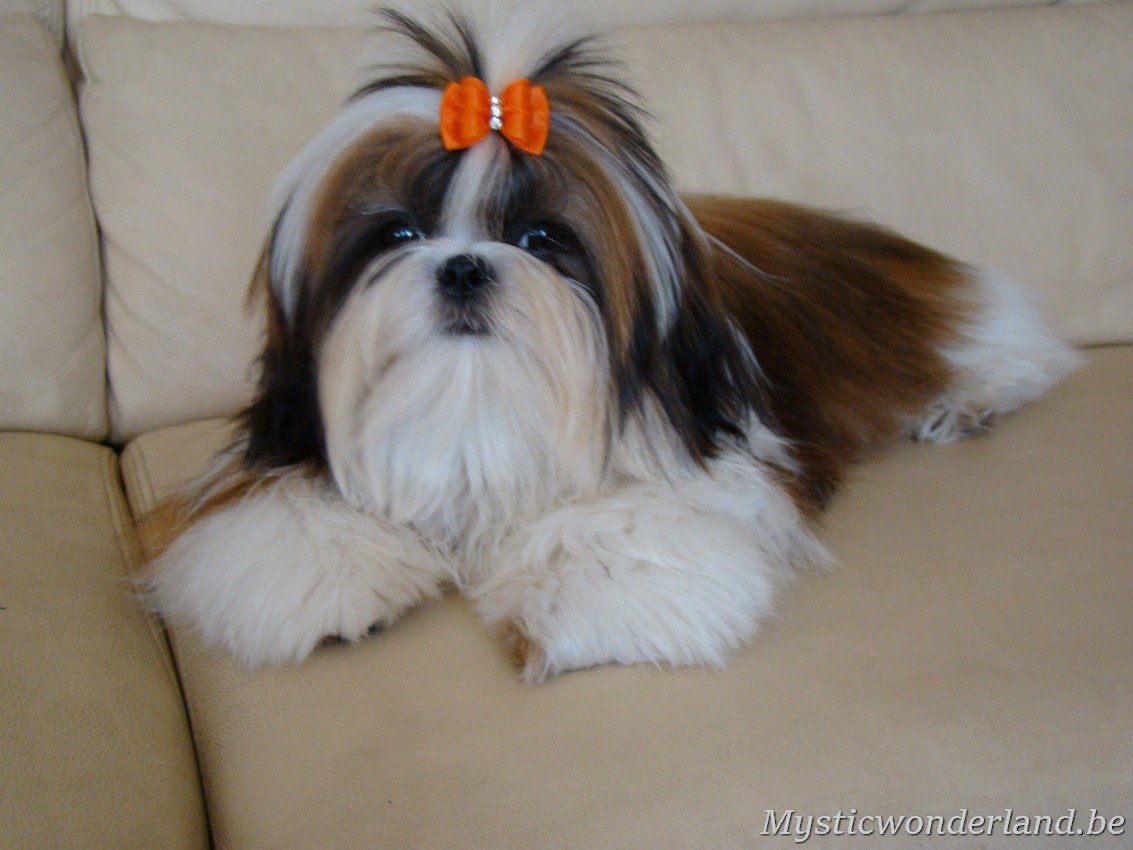 shih tzu mystique gigi shih tzu kennel of mystic wonderland 9303
