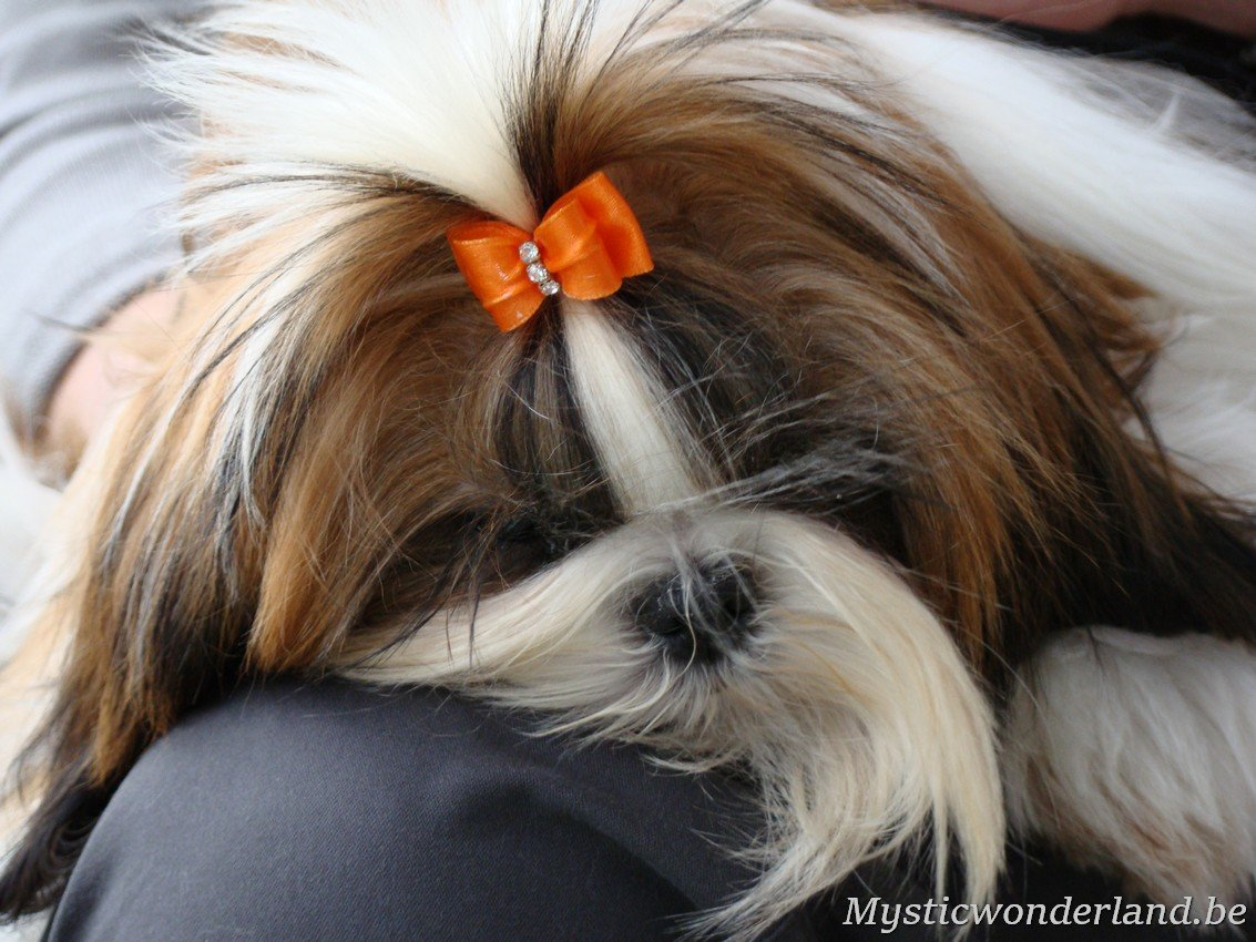 shih tzu mystique gigi shih tzu kennel of mystic wonderland 787