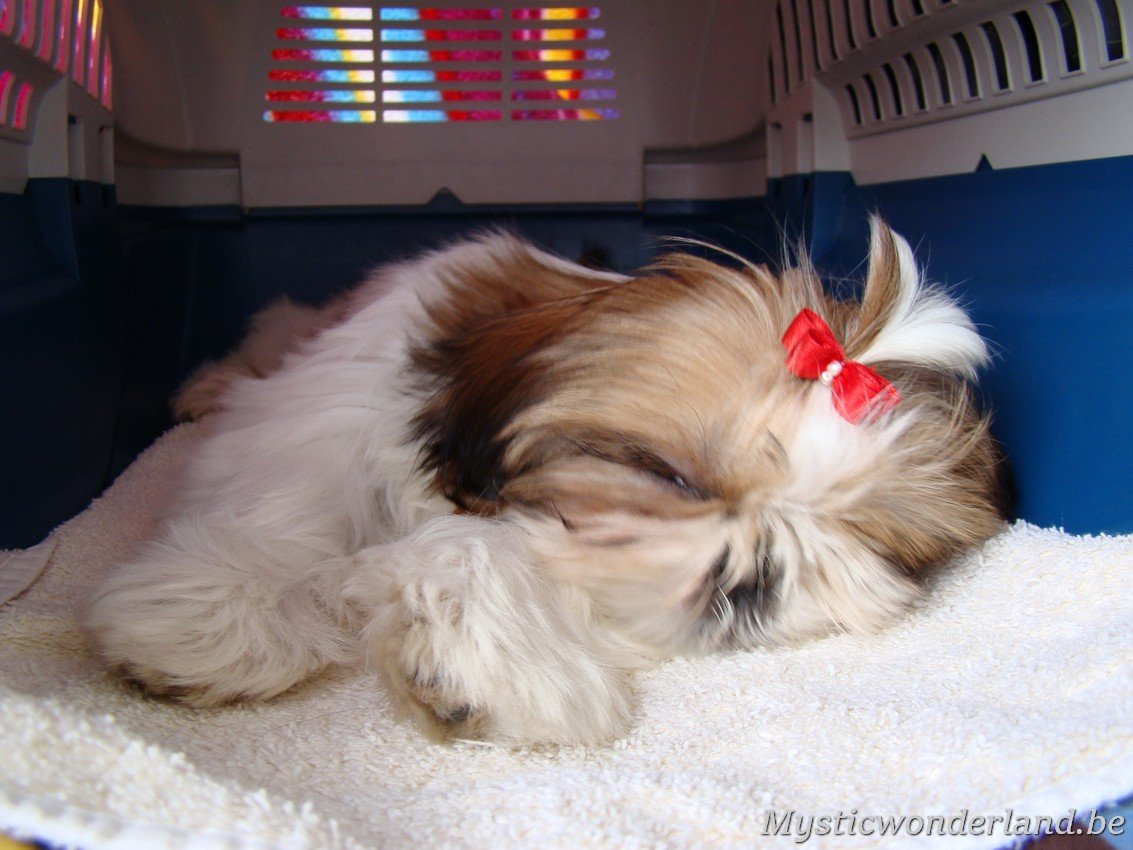 shih tzu mystique blaithin shih tzu kennel of mystic wonderland 9989