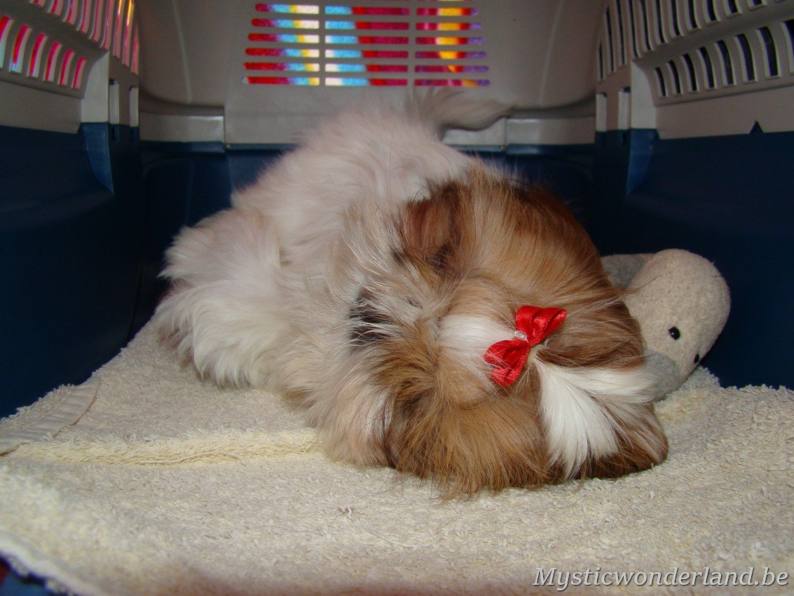 shih tzu mystique blaithin shih tzu kennel of mystic wonderland 497